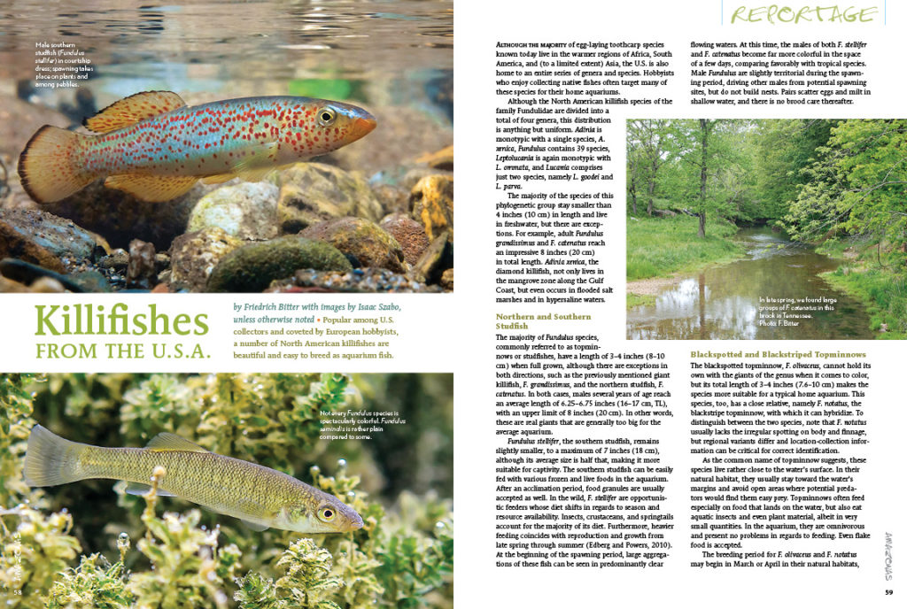 A number of North American killifishes are beautiful and easy to breed as aquarium fish. Friedrich Bitter introduces you to many ideal species, with images by Isacc Szabo and others.