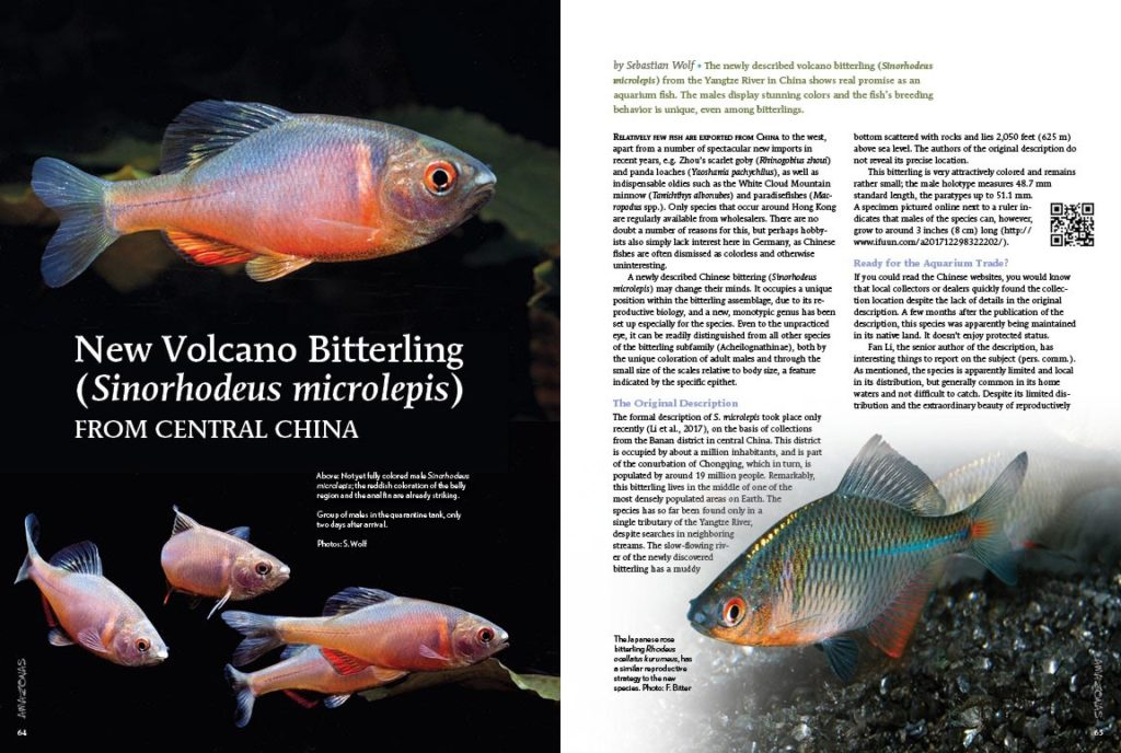 Sebastian Wolf shares his preliminary experiences with the newly described volcano bitterling (Sinorhodeus microlepis) from the Yangtze River in China, which shows real promise as an aquarium fish.