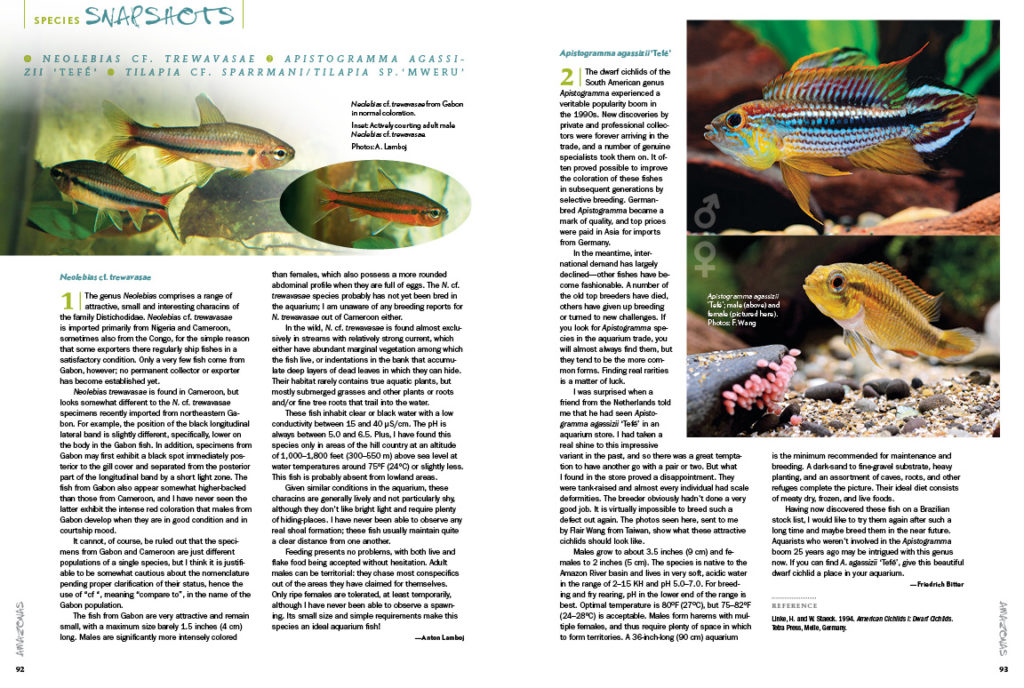 AMAZONAS Magazine's Species Snapshots bring you the closer to exciting new imports and rekindle passions for varieties that sometimes fall out of favor. In this issue, we share in-depth looks at Neolebias cf. trewavasae, Apistogramma agassizii 'Tefe', Tilapia cf. sparrmani and T. sp. 'Mweru'. This exclusive content is found nowhere else but the pages of AMAZONAS Magazine!