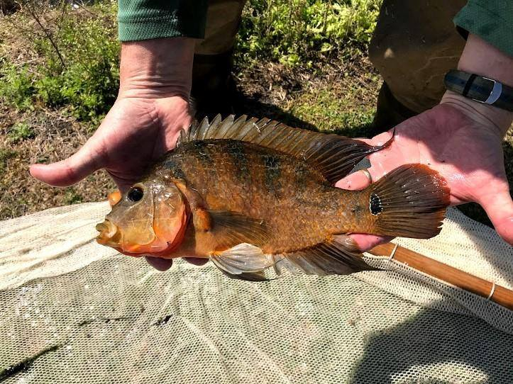 A Mayan cichlid collected in a 2019 Fish Slam event in Indian River and St. Lucie counties.