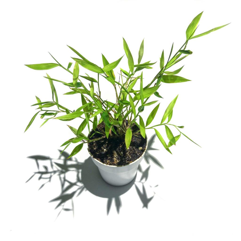 "Pogonatherum sp. 'Baby Panda Bamboo' growing in a 2"" (5cm) nursery pot."