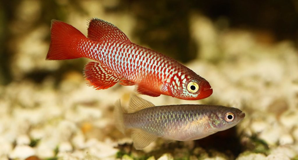 Kisaki Killifish, Nothobranchius flammicomantis, is included on the CARES Priority List, and classified as Vulnerable by the IUCN. While both authorities recognize the plight of this species, others are often overlooked. Image credit: Mirko Rosenau/Shutterstock