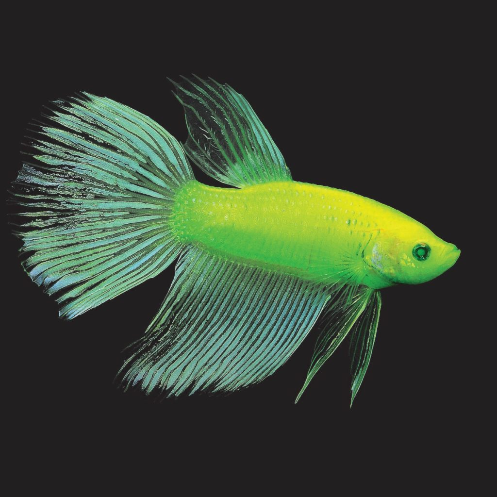 Electric Green® GloFish® Betta