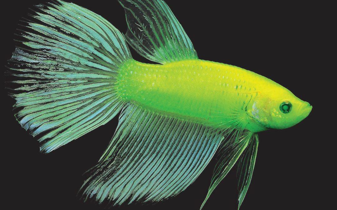 International Betta Congress Issues GloFish Betta Policy