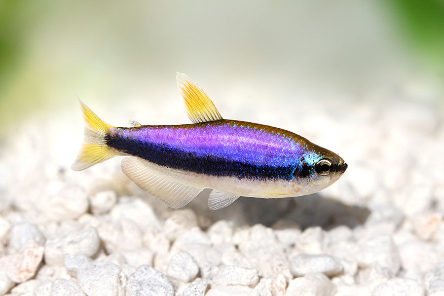 A mature male wild-type example of the Blue Kerri Tetra. Image credit: Mirko Rosenau/Shutterstock