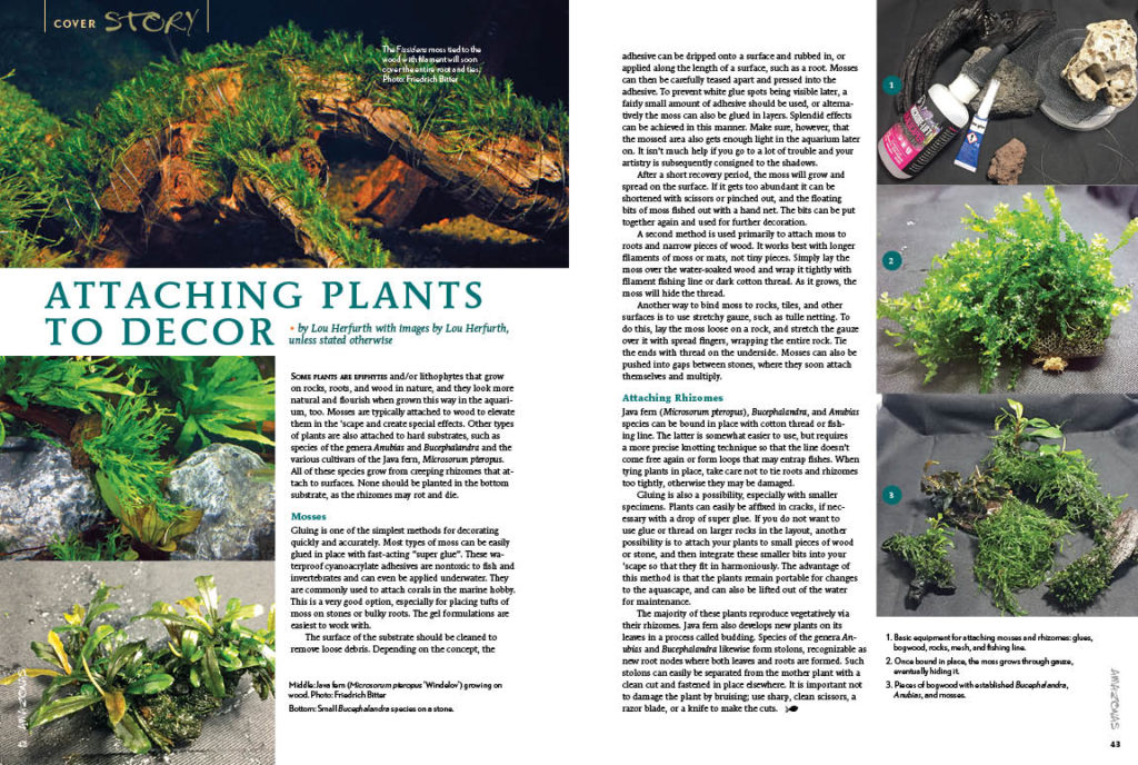 If you've ever struggled to affix and keep plants attached to hard substrates, Lou Herforth shares several techniques that an aquascaper might leverage.