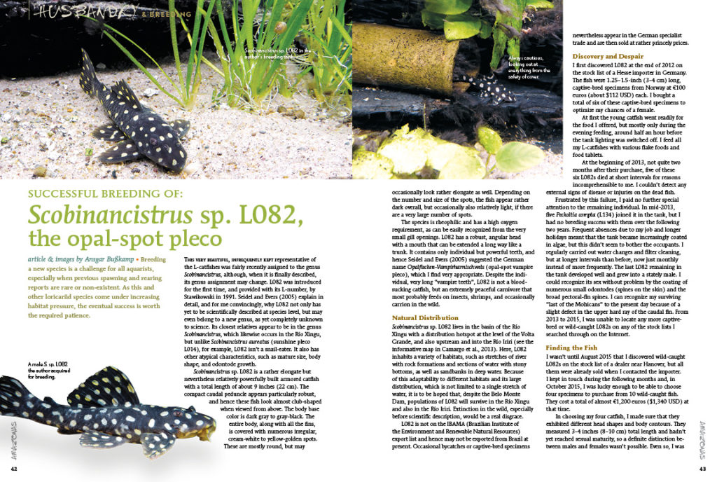 Successful breeding of L082, the Opal Spot Scobiancistrus, by Ansgar Bußkamp, highlights the challenges of breeding a species when previous spawning and rearing reports are rare or non-existent.