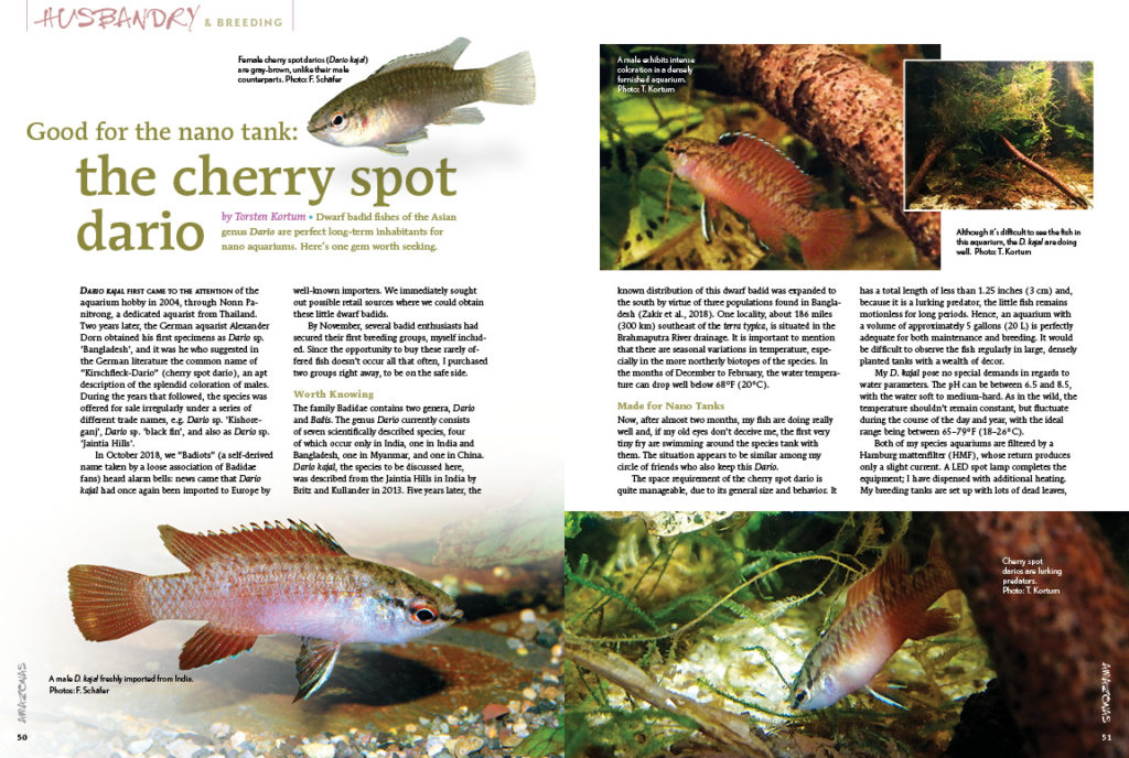 Good for the nano tank? Torsten Kortum believes the Cherry Spot Dario (Dario kajal) is a great candidate for small tank culture!