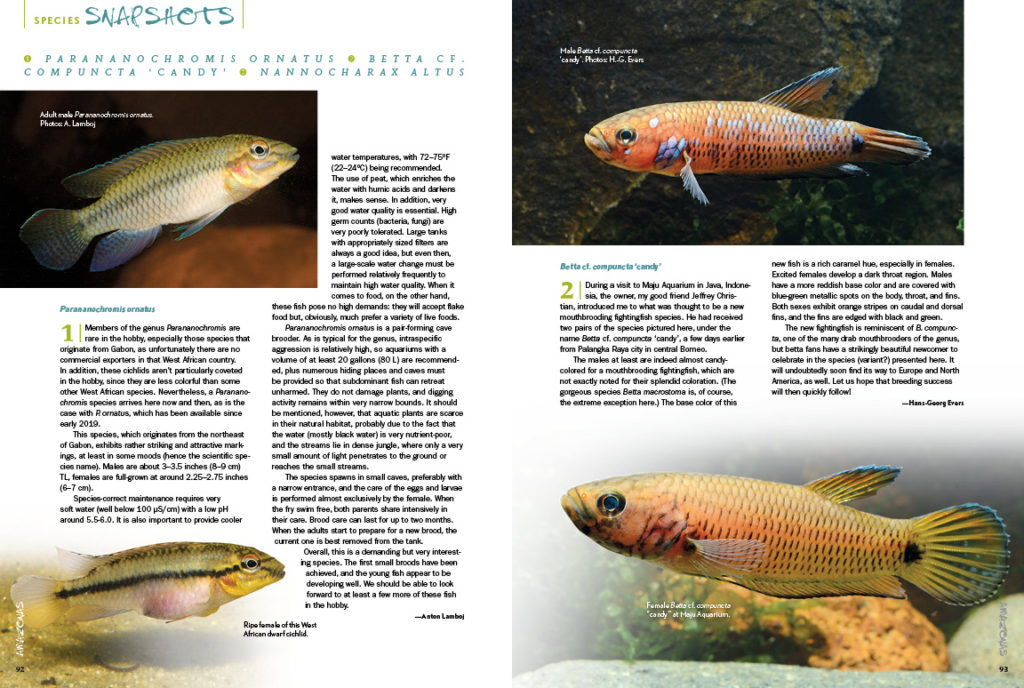AMAZONAS Magazine's Species Snapshots bring you closer to exciting new imports and rekindle passions for varieties that sometimes fall out of favor. In this issue, we share in-depth looks at Parananochromis ornatus, Betta cf. compuncta 'Candy', and Nannocharax altus. This exclusive content is found nowhere else but the pages of AMAZONAS Magazine!