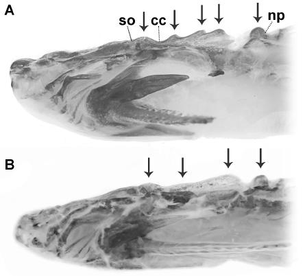 Skull ornamentation of (A) B. hertzi, 47.6 mm SL and (B) B. larai, 53.7 mm SL. Arrows indicate bone protuberances at supra occipital bone (so), complex centrum (cc) of the Weberian apparatus, and at nuchal plate (np). Image is Figure 2 from Esguícero, Castro, and Pereira 2020.
