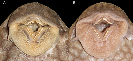 Oral disks of (A) paratype of Panaque. nigrolineatus laurafabianae, 268 mm SL, showing well-developed patches of papillae immediately interior to each premaxillary and dentary tooth row and (B) P. nigrolineatus nigrolineatus, 267 mm SL, with much smaller, more reduced patches. Figure 3 in Ortega-Lara & Lujan 2020.
