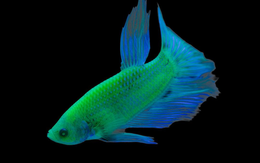 GloFish Introduces Bettas to Fluorescent Fish Offerings