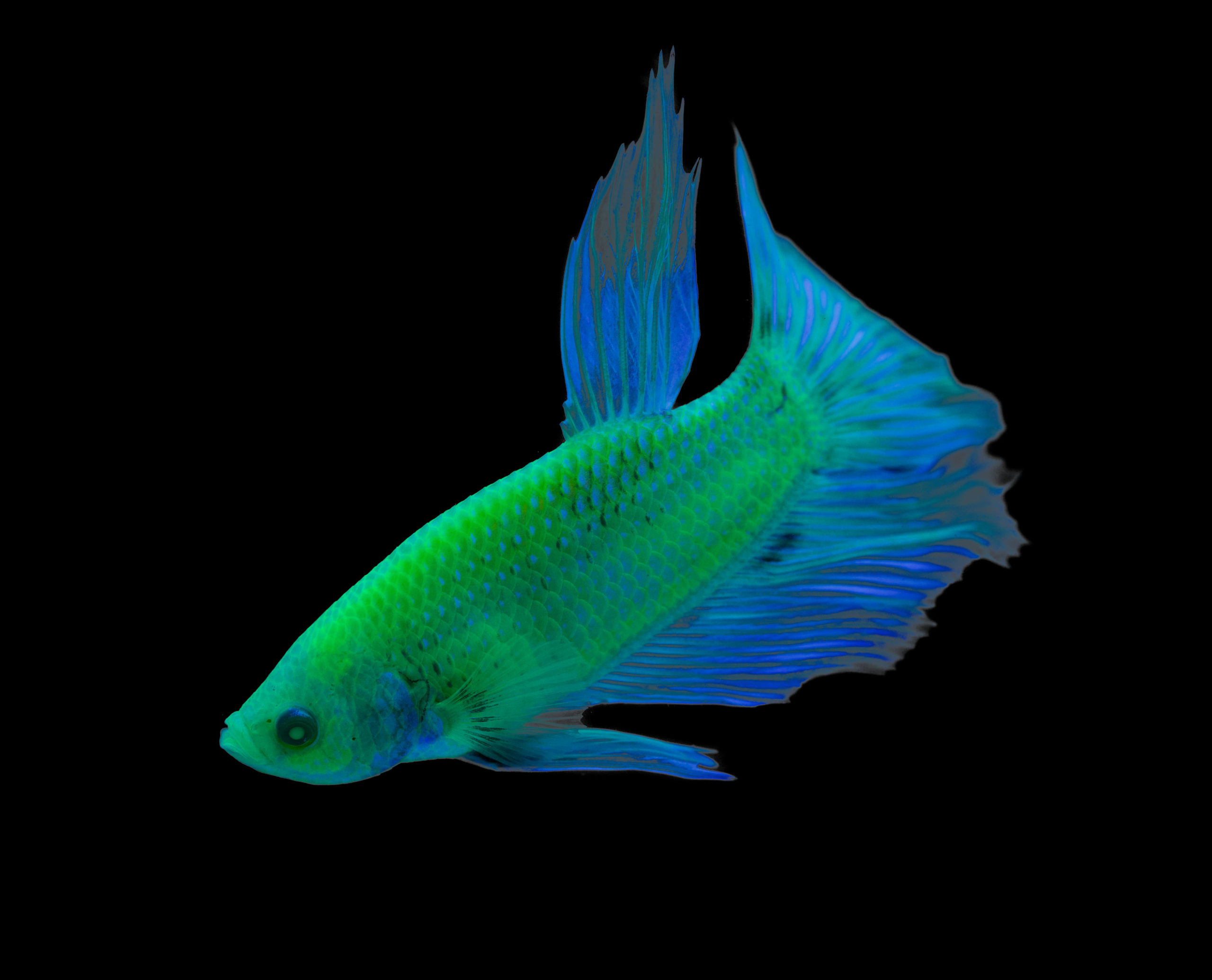Premium male GloFish® Betta in Electric Green®. Image from Spectrum Brands, Inc.