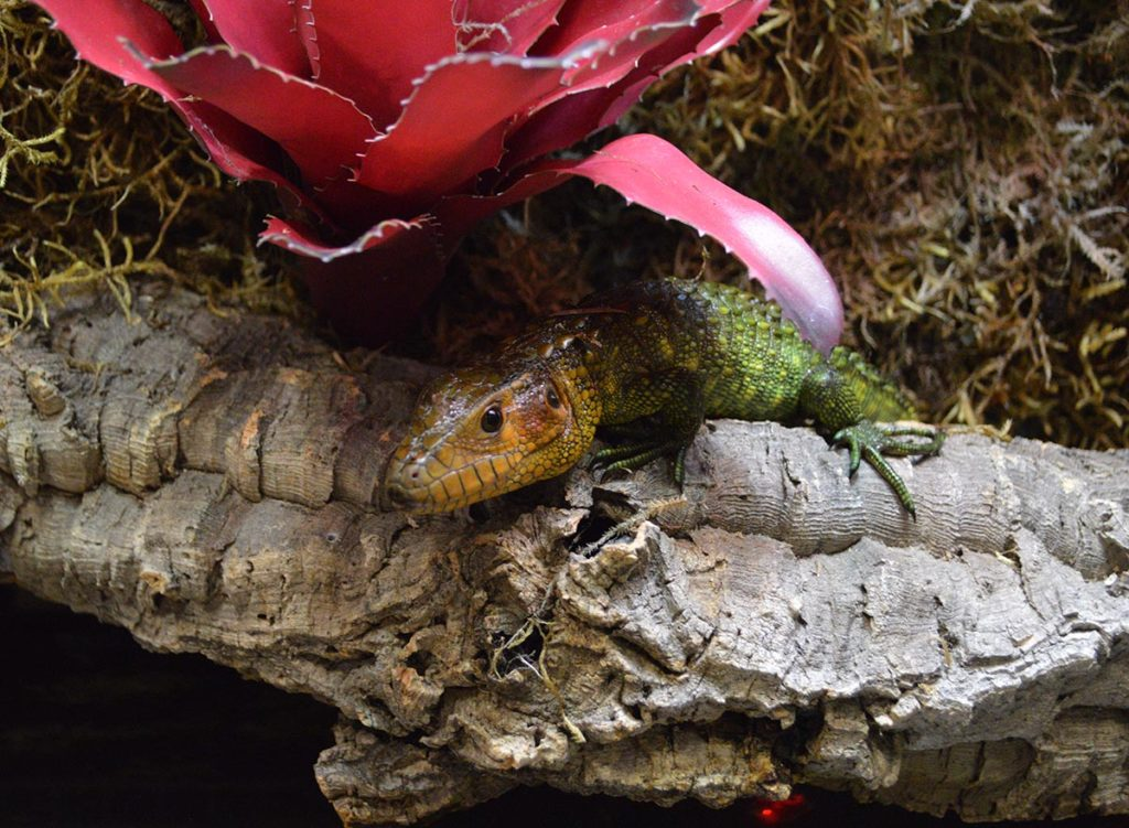 A closer look one of several Caiman Lizards (Dracaena guianensis) that made full use of the paludarium.