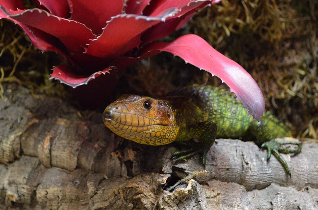 One more look at a very photogenic Caiman Lizard, Dracaena guianensis.