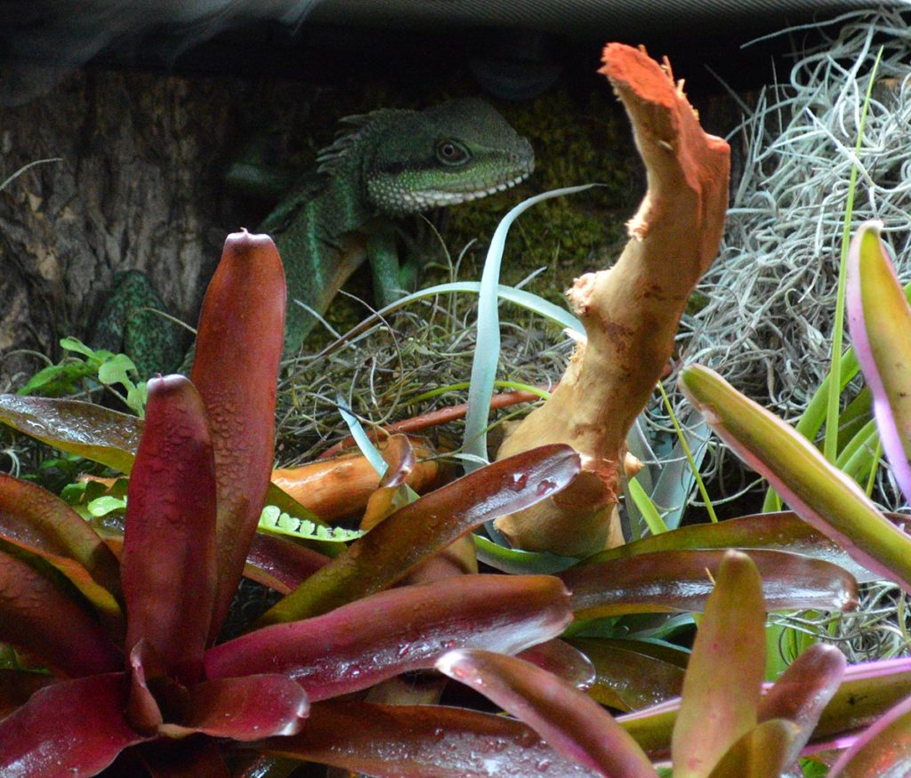 This Chinese Water Dragon (Physignathus cocincinus) was keeping a watchful eye on passersby perched high in the back of the paludarium.