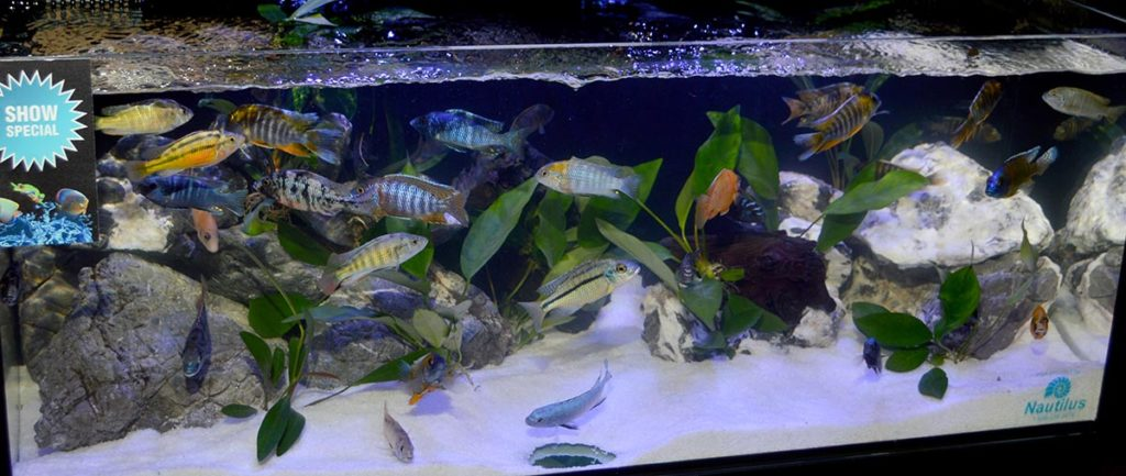 More African cichlids from Nautilus Tropical Fish Wholesale turned up in this Cobalt Aquatics display tank.