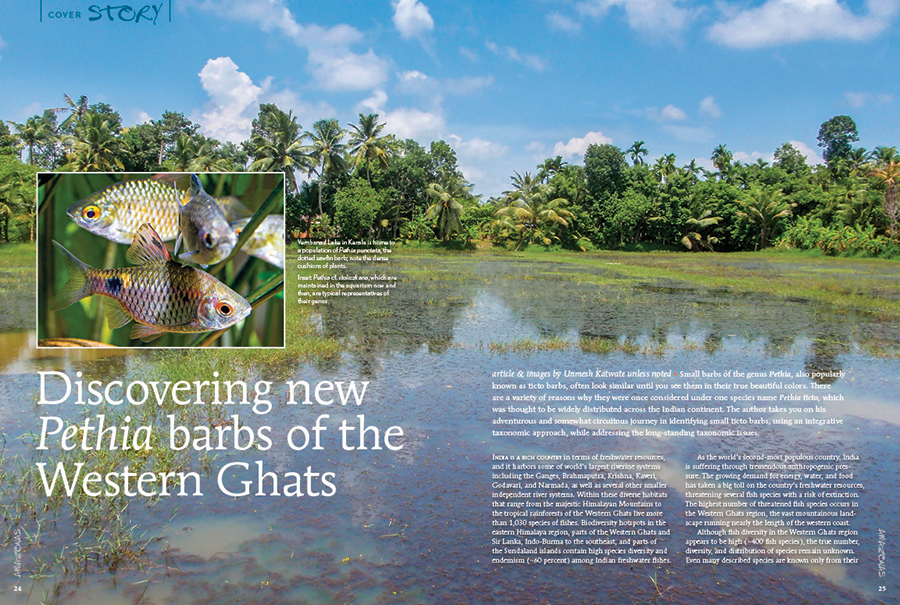"""Unmesh Katwate brings you a fresh story of ichthyological discovery, an adventurous and somewhat circuitous journey in identifying small ticto barbs, using an integrative taxonomic approach, while addressing the long standing taxonomic issues. Learn more in this cover story, """"Discovering new Pethia barbs of the Western Ghats."""""""