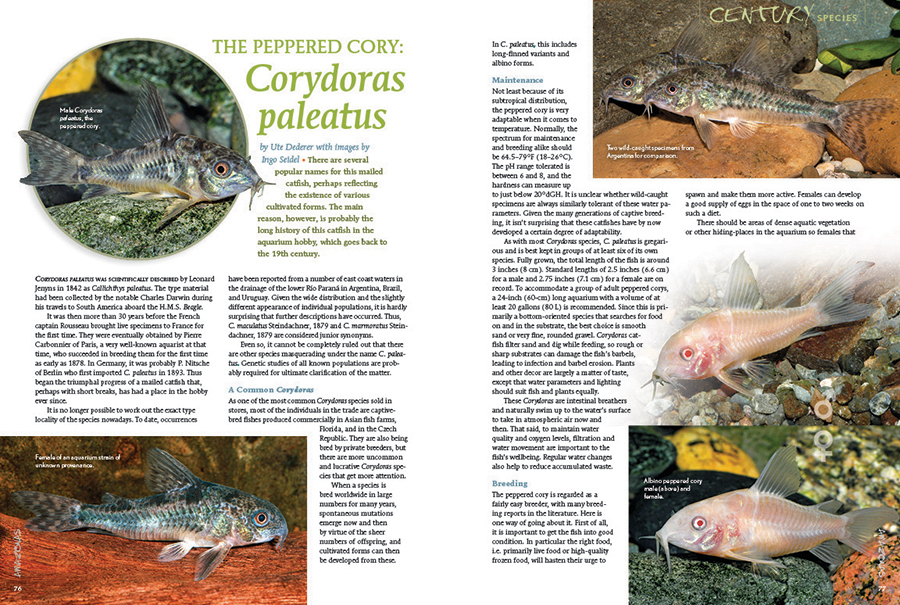 Century Species returns with the peppered cory: Corydoras paleatus. Ute Dederer shares the story of this aquarium staple, going all the way back to its initial collection by none other than Charles Dawrin.