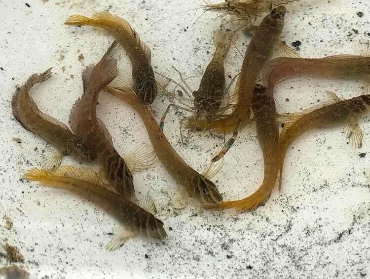 A closer look at the juvenile captive-bred Tophat Blennies. Image credit Pei-Sheng Chiu