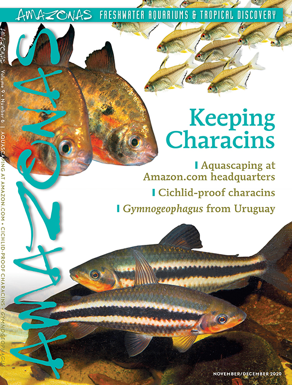 AMAZONAS Magazine, Volume 9, Number 6, KEEPING CHARACINS, on sale October 6th, 2020! On the cover: Lemon tetras (Hyphessobrycon pulchripinnis) top, spotted silver dollar (Metynnis maculatus) middle, and lipstick leporinus (Leporinus arcus) bottom. Photos by Horvath82/ Shutterstock (top), and Ernst Sosna (middle, bottom)