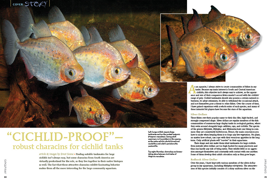 "Finding suitable tankmates for large cichlids isn't always easy, but some characins from South America are virtually predestined for the role, as they live together in their native biotopes as well. The fact that these attractive characins exhibit fascinating behavior makes them all the more interesting for the large community aquarium. Ernst Sosna presents ""Cichlid-Proof""—robust characins for cichlid tanks."