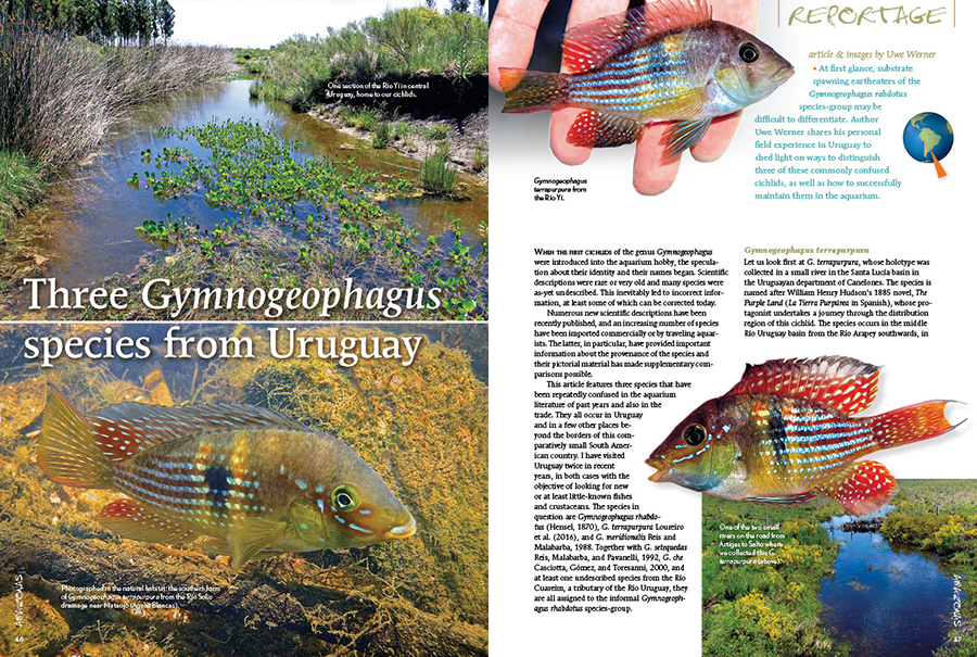 At first glance, substrate spawning eartheaters of the Gymnogeophagus rabdotus species-group may be difficult to differentiate. Author Uwe Werner shares his personal field experience in Uruguay to shed light on ways to distinguish three of these commonly confused cichlids, as well as how to successfully maintain them in the aquarium.