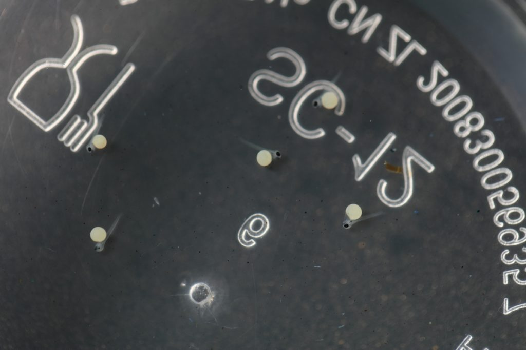 6-day-old Betta macrostoma eggs. Eyes and tails are the first organs being formed