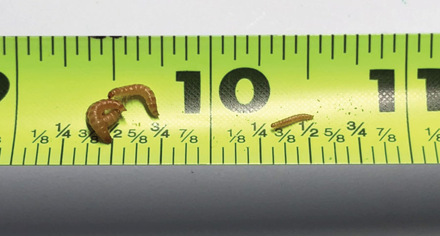 Peanut beetle larvae go through seven instars, each larger than the last. Ruler is in inches.