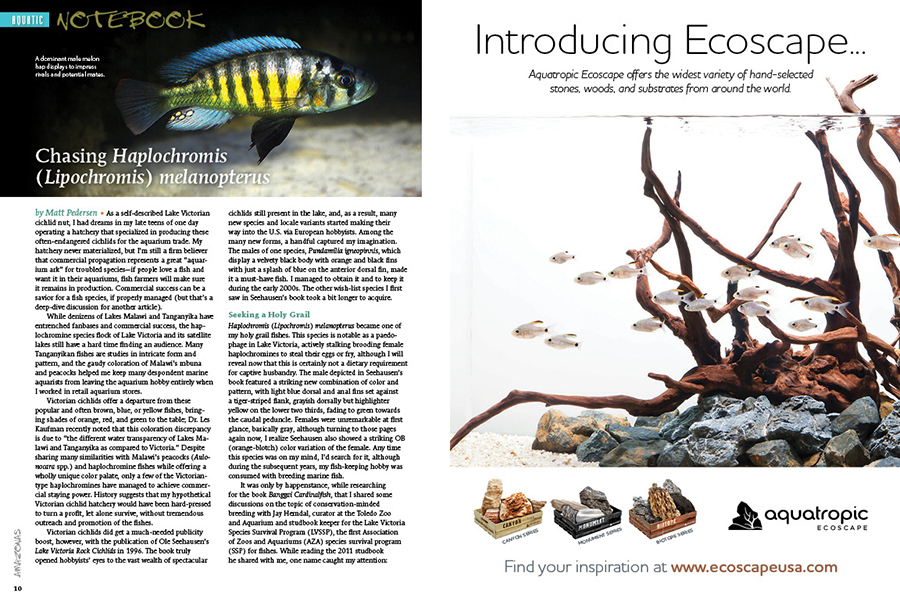"""How easily can a fish be nearly lost and found and all but lost again? Sr. Editor and Publisher Matt Pedersen shares his quest for a personal holy-grail cichlid from Lake Victoria—Haplochromis (Lipochromis) melanopterus—a colorful paedophage that briefly saw commercial availability in the aquarium trade as the """"Melon Hap""""."""