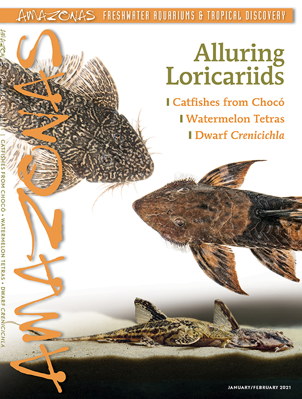 AMAZONAS Magazine, Volume 10, Number 1, ALLURING LORICARIIDS, on sale December 8th, 2020! On the cover: Crossoloricaria variegata (top) and Sturisomatichthys tamanae (middle) by Oliver Lucanus; chocolate whiptail catfish (Rineloricaria lanceolata) (bottom) by Norman Behr