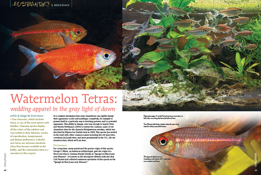 Colorful new tetras are welcome standouts when they become available in the hobby, and the watermelon tetra, Hemmigramus coeruleus, is a sensation in this respect. Ernst Sosna shares his experiences with this flashy rarity.