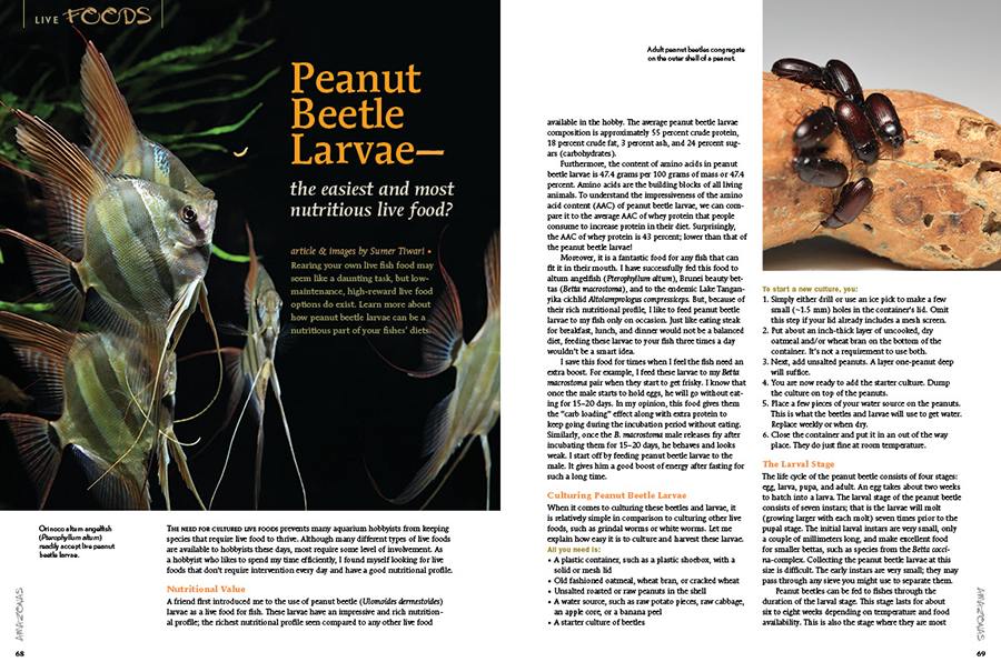 Rearing your own live fish food may seem like a daunting task, but low maintenance, high-reward live food options do exist. Sumer Tiwari explores how peanut beetle larvae can be a nutritious part of your fishes' diets.