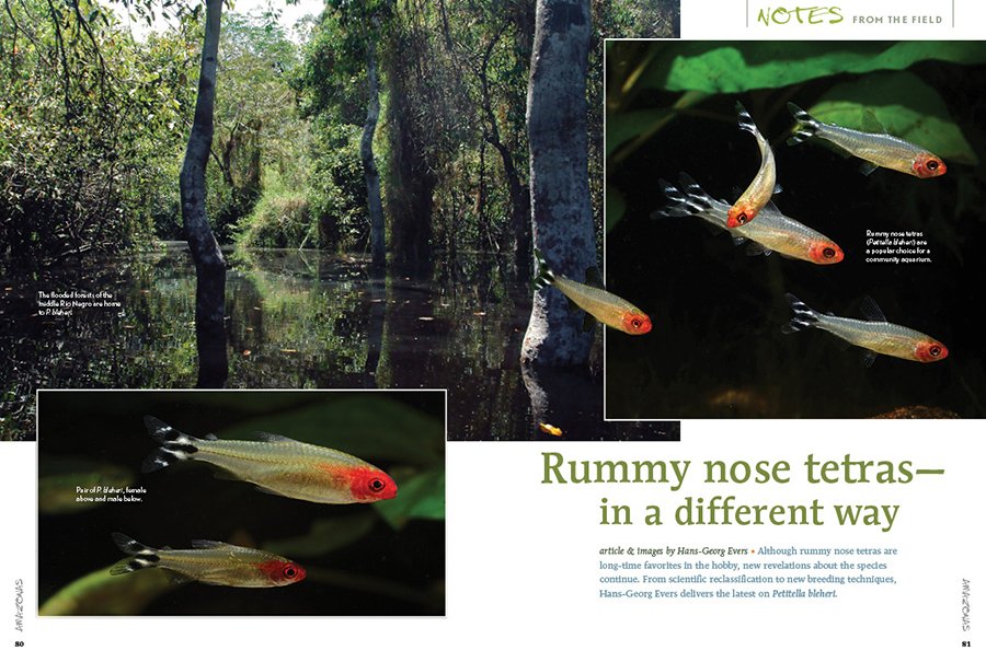 Although rummy nose tetras are long-time favorites in the hobby, new revelations about the species continue. From scientific reclassification to new breeding techniques, Hans-Georg Evers delivers the latest on Petitella bleheri.