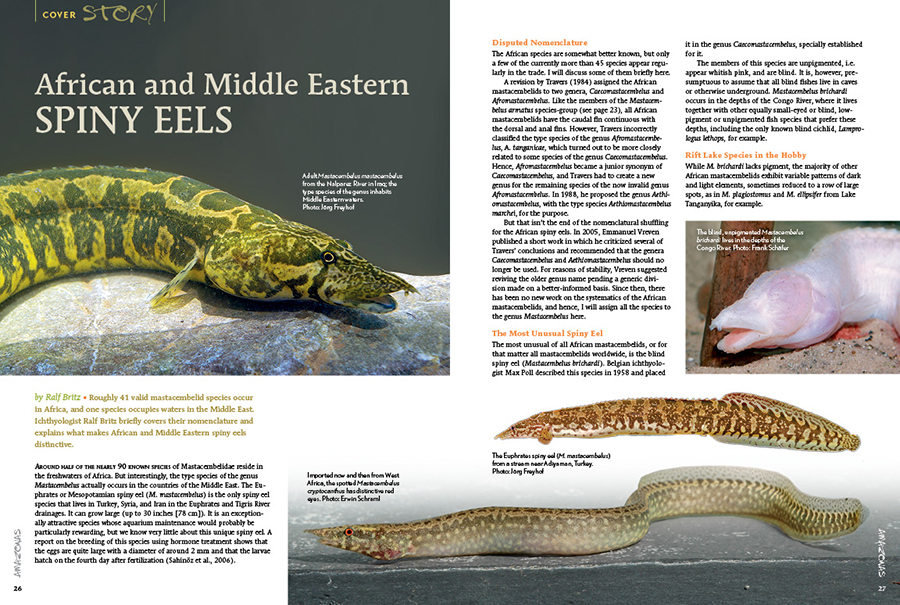 Roughly 41 valid mastacembelid species occur in Africa, and one species occupies waters in the Middle East. Ichthyologist Ralf Britz briefly covers their nomenclature and explains what makes African and Middle Eastern spiny eels distinctive.
