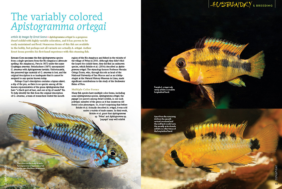 Apistogramma ortegai is a gorgeous dwarf cichlid with highly variable coloration, and it has proven to be easily maintained and bred. Numerous forms of this fish are available in the hobby, but perhaps not all variants are actually A. ortegai. Author Ernst Sosna provides his first-hand experience with this stunning fish.