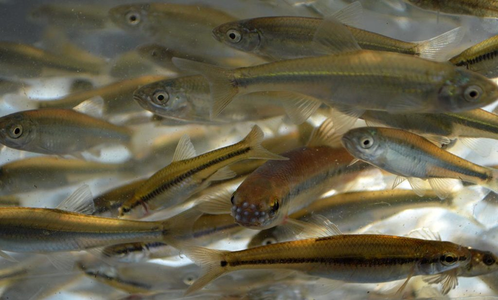 A mature bluntnose minnow (bottom center, facing the camera) exhibits temporary breeding tubercles on his snout.