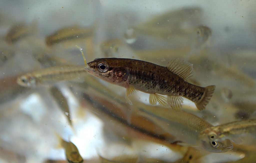 Another, slightly smaller central mudminnow was collected in Square Lake. We had hoped to try this species out in our aquariums, but with only three to go around, we didn't want to be greedy! Maybe next time (or we'll catch some ourselves this summer)!