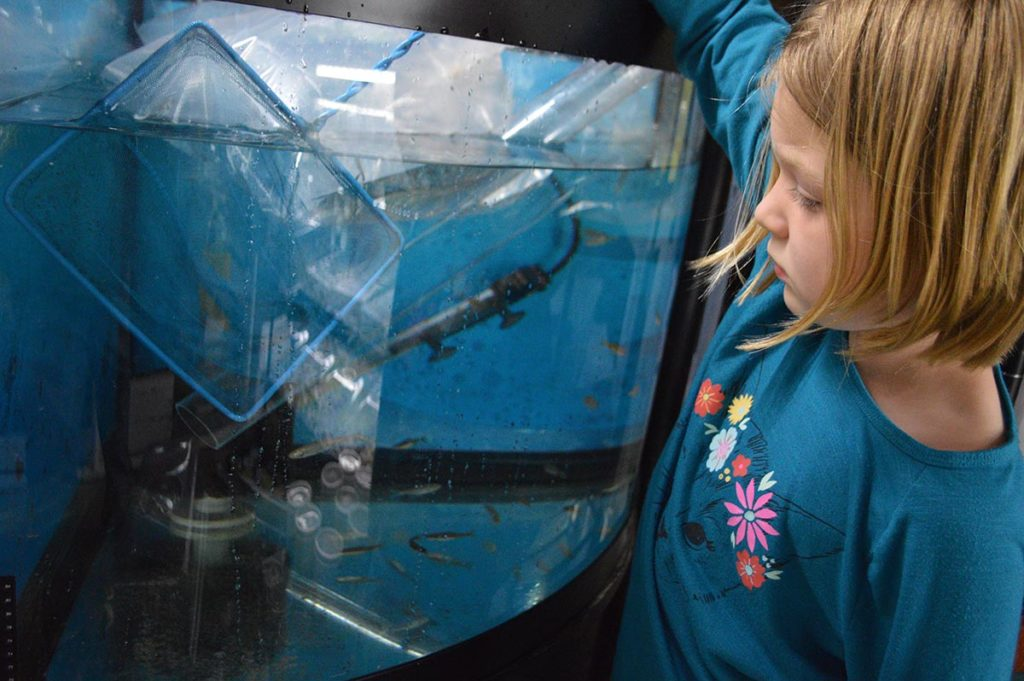 I opted to initially quarantine our bluntnose minnows, spotfin shiners, and rainbow darters in a somewhat bare 54-gallon corner tank. It had been recently drained, cleaned, and set up with a well-established sponge filter from another system. I had left the aquarium partially unfilled and added cold tap water to chill it a bit to match the temperature of the water the fish were in. The aquarium was left unheated, and heavily aerated as well. This aquarium has been their temporary home so far, and all the fish appear to be healthy and adapting well to aquarium life. The spotfin shiners in particular are already developing more vivid coloration including some white tips on their caudal fins; they vaguely remind me of larger Danio species. After a couple more weeks of observation, I will likely move these fishes into other aquariums, and the darters will get a dedicated tank designed just for their particular needs.