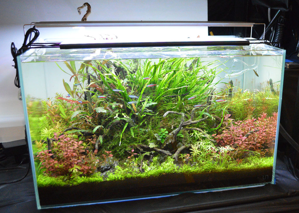 Kiss your Cardinal Tetras goodbye, Winnipeg aquarists, as most available in the aquarium trade are wild-caught. An aquascape like this entry in the 2018 Minnesota Aquarium Society fish show just won't be possible in the Canadian city, should the proposed new rules come into effect. Image credit: Matt Pedersen