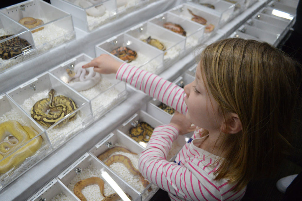 The author's daughter, Audrey Pedersen, gets excited about the many color varieties of captive-bred Ball Pythons on display at the North American Reptile Breeder's Conference (NARBC), held at Tinley Park, Illinois in March 2019.