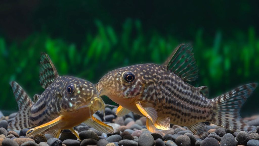 Corydoras sterbai brandish bright orange spines on their pectoral fins, capable of delivering a painful, venomous sting to would-be predators and careless aquarists. Would Winnipeg's venomous animal ban prohibit ownership of ubiquitous aquarium fishes that are, generally speaking, quite benign? Image credit Ron Kuenitz/Shutterstock